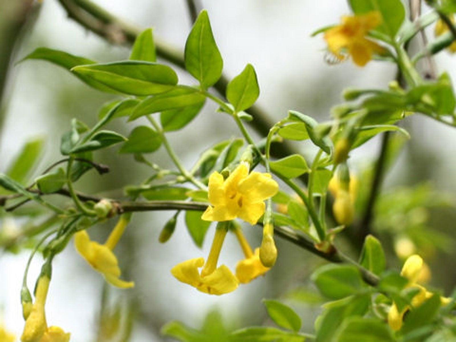 Italian Jasmine Flower Care – How To Grow An Italian Yellow Jasmine