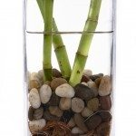 lucky bamboo water