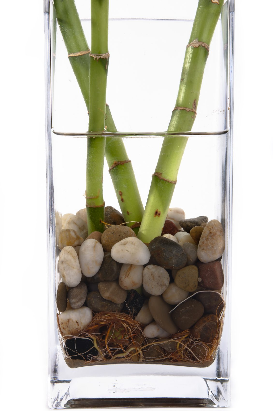 rotting lucky bamboo plants tips for preventing rot in. Black Bedroom Furniture Sets. Home Design Ideas
