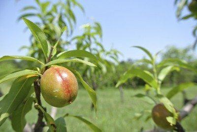 nectarine thinning