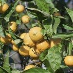 ripe oranges are hanging on a tree