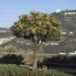 Orange tree during a winter in the city of Nice (French Riviera)