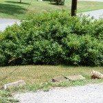 overgrown-forsythia