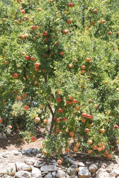 Pomegranate tree, growing in Turkish rural orchard.