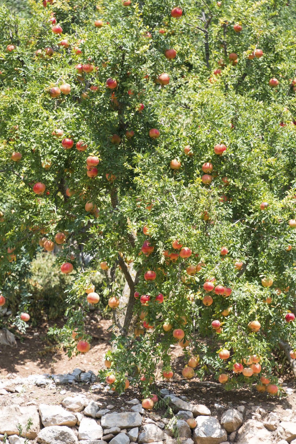 Trimming Pomegranate Trees When And How To Prune A