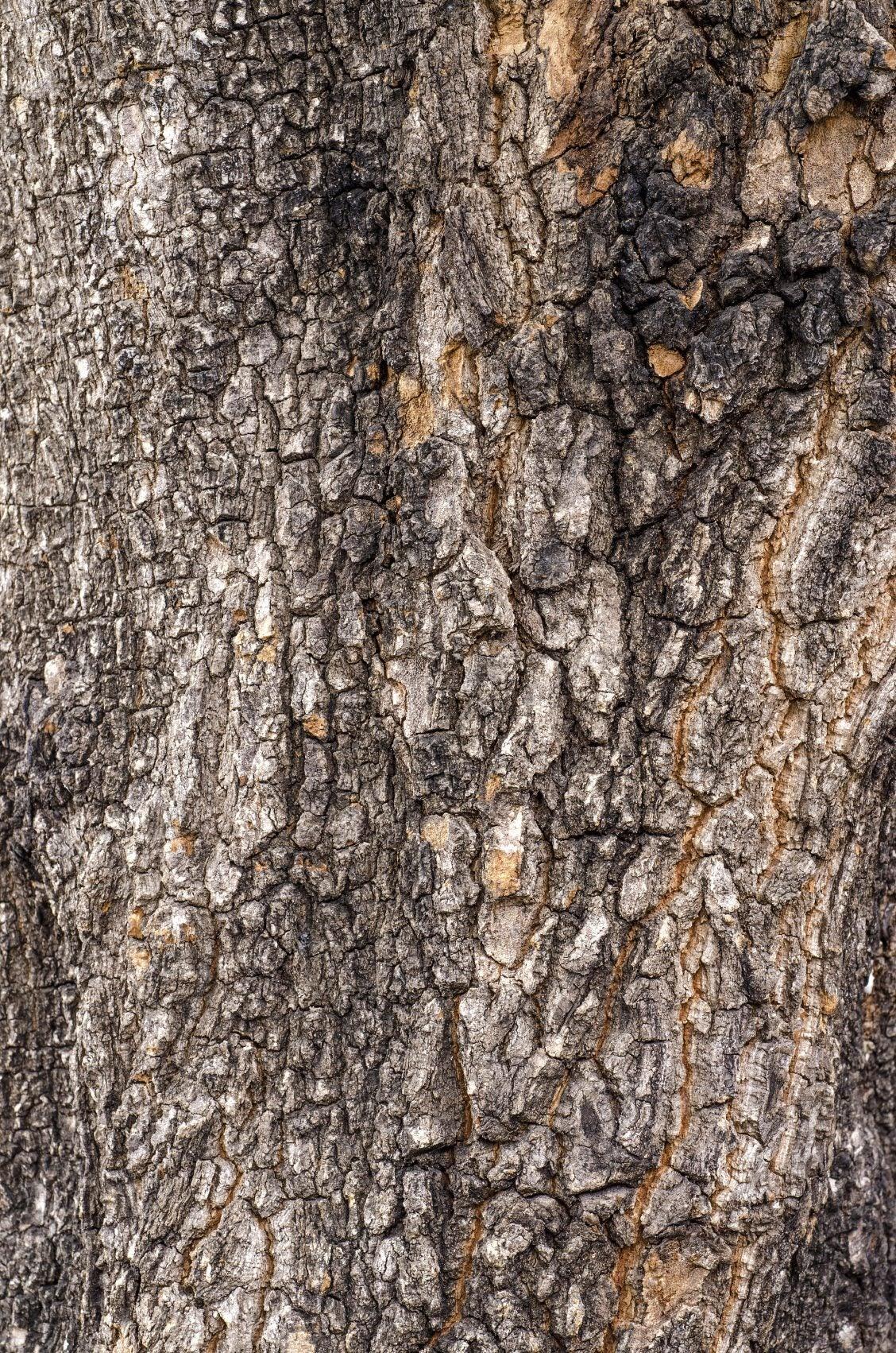 Seeping Pecan Trees Pecan Tree Has Sap Dripping From It
