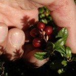 picking cranberries