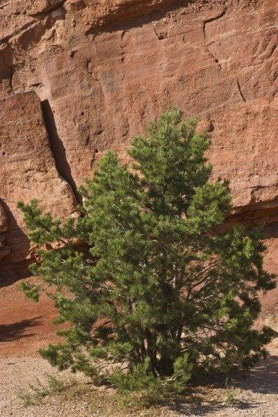 Pinyon pine tree set against vivid red rock in Garden of the Gods park in Colorado Springs, Colorado, in vertical format