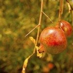pomegrante leaf drop