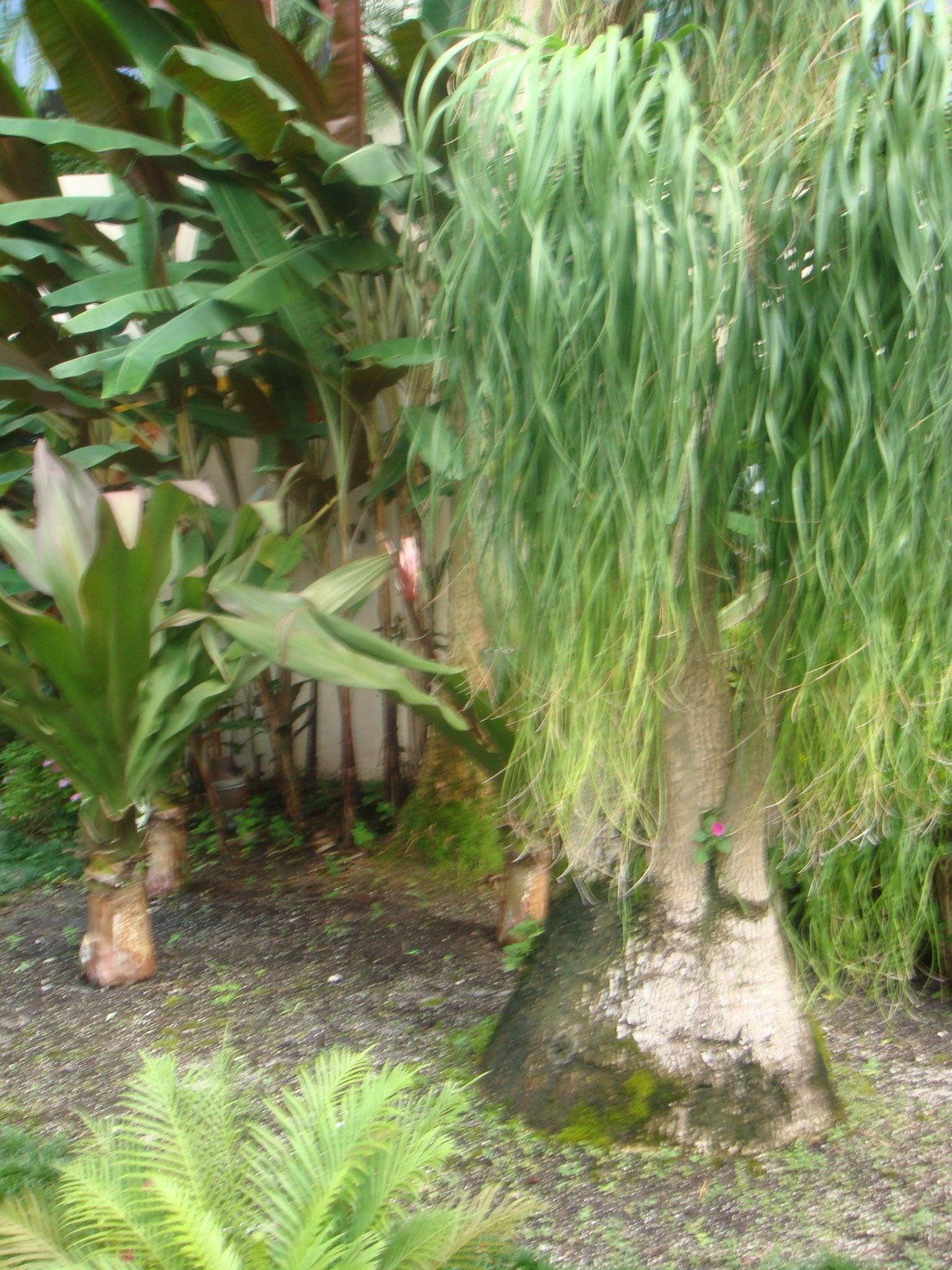 Garden Design Garden Design with Rubber plant care outdoor