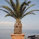 potted palm