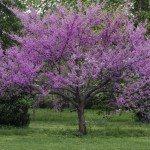 redbud shade