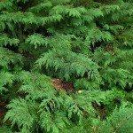 russian cypress