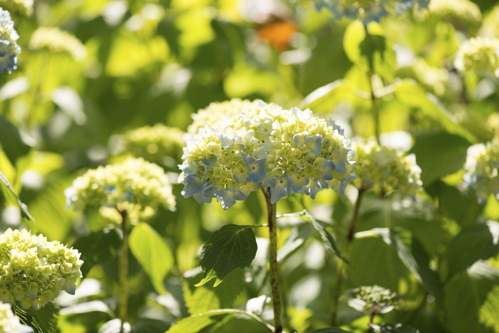 Growing Smooth Hydrangea Tips On Planting Wild Hydrangeas