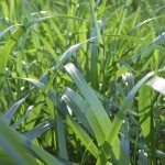 Background, close up shot of green grass blades.
