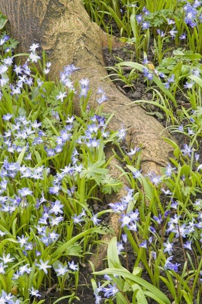 Blue flowers by a tree root