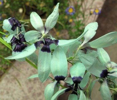 turquoise ixia