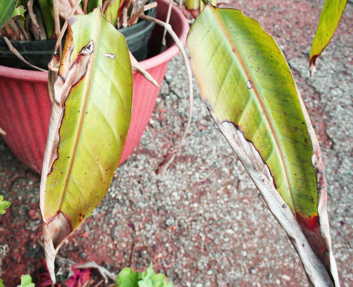 Bird Of Paradise Leaves Turning Yellow Caring For A Bird Of Paradise With Yellow Leaves Tropical golden pothos, easy care, tolerates low light and purifies the air. bird of paradise leaves turning yellow