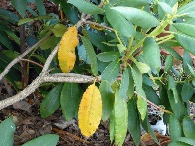 yellow-rhododendron-leaves