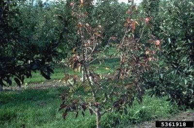 apple collar rot