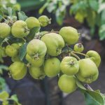 Green delicious apples on a branch of an Apple tree in the garden. Delicious healthy food. Rustic flavor