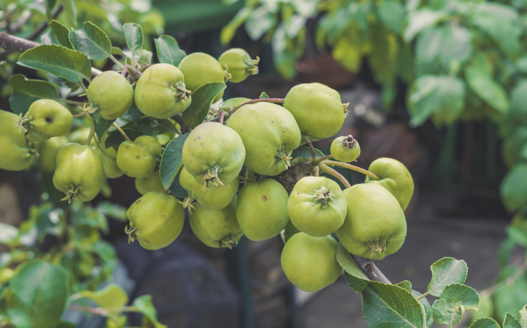 Apple Thinning Guide Learn How To Thin Fruit From Trees Tree Ring Diagram