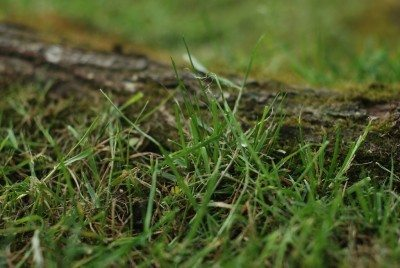 Bermuda Grass Control How To Get Rid Of Bermuda Grass But Not Plants