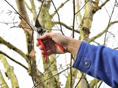 birch tree pruning