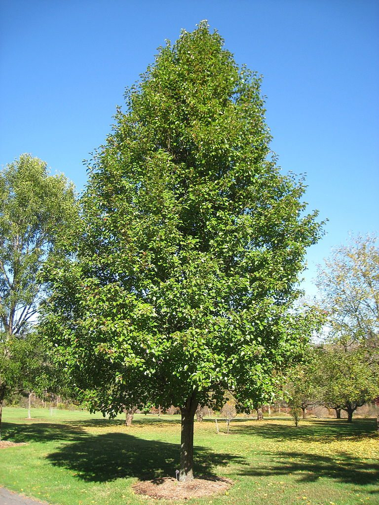 Caring for a non flowering bradford pear learn why Bradford pear