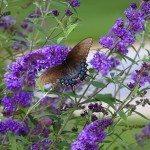 butterfly bush fertilizer