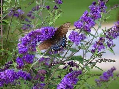 Best fertilizer for butterfly bushes: tips on fertilizing a butterfly bush