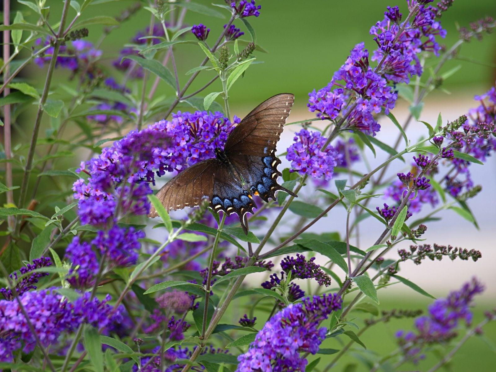 Best Lawn Fertilizer >> Do Butterfly Bushes Need Fertilizer – When And How To Fertilize A Butterfly Bush