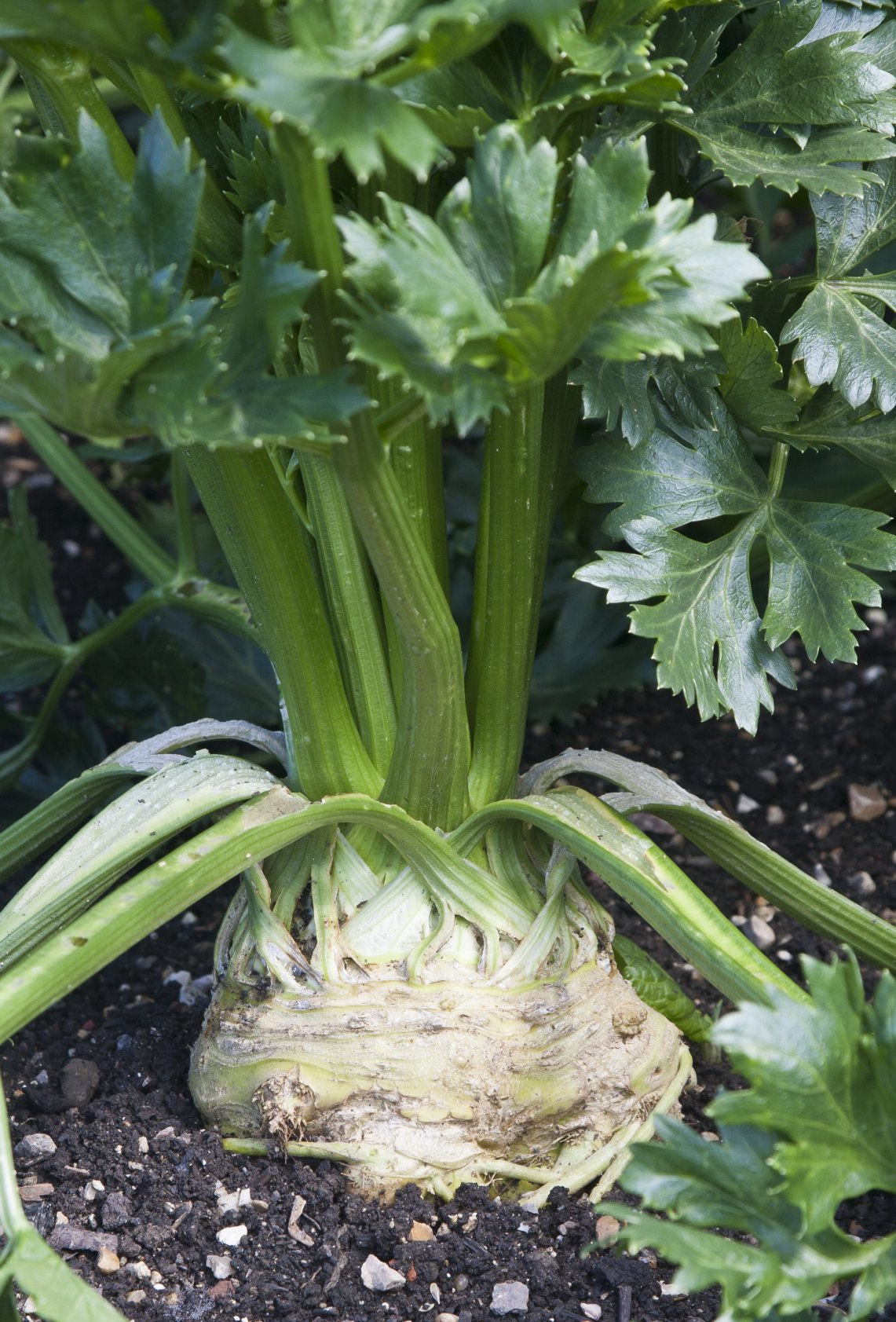 Different types of celery learn about celery plant varieties for Different garden plants