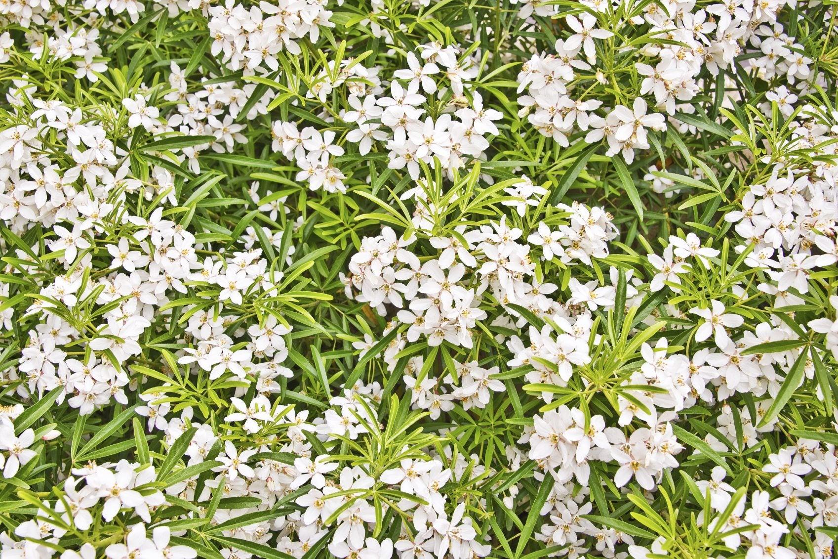 how to grow choisya plants