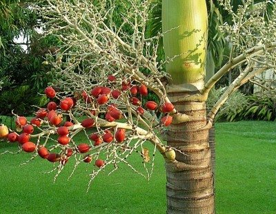 Christmas Palm Tree Facts Tips On Growing Trees