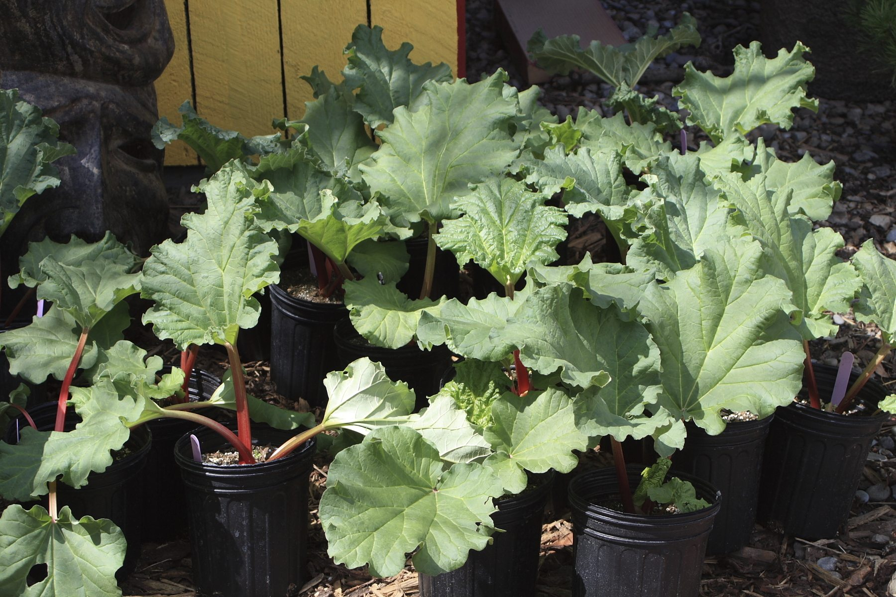 Garden Bush: Container Grown Rhubarb: Caring For Rhubarb Plants In