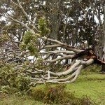eucalyptus wind damage