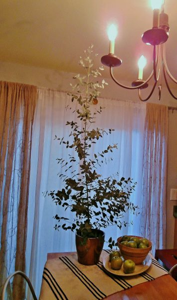 Eucalyptus Houseplant How To Grow In A Container