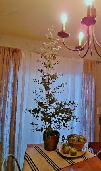 Eucalyptus Growing Indoors