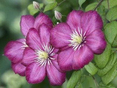 Violet clematis buds on bush