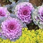 Decorative fall kale cabbage. Used in planters and gardens.