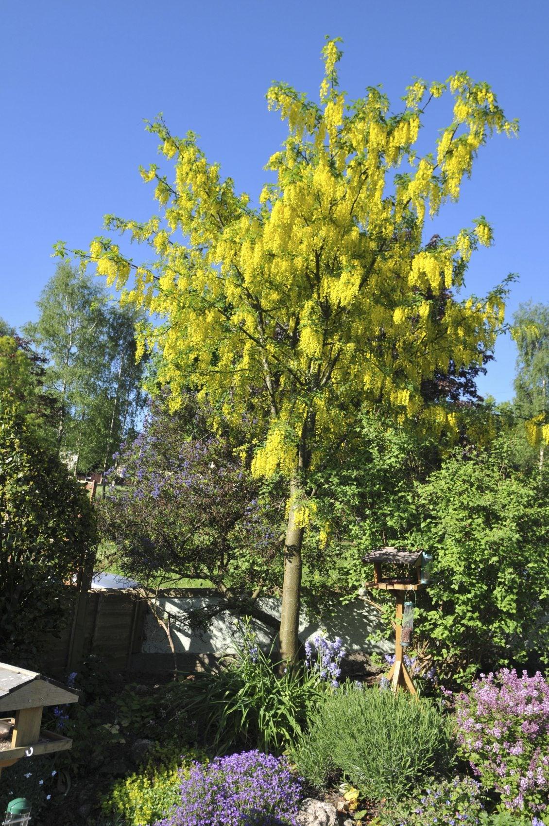 caring for laburnum trees