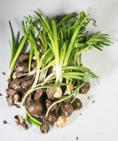 Propagating hyacinth offsets – how to propagate bulbs of hyacinth