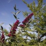 invasive butterfly bush
