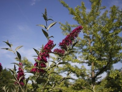 Do butterfly bushes spread: controlling invasive butterfly bushes