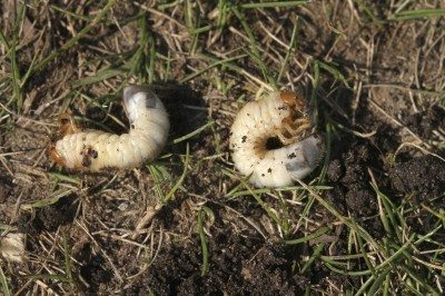 Treating lawn pests – tips on controlling insects in grass