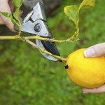 lemon pruning