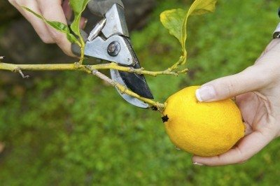 Lemon Tree Pruning When Is The Best Time To Prune Trees
