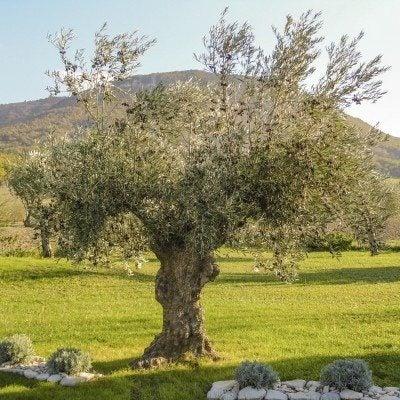 Centenary olive tree in Drôme provençale
