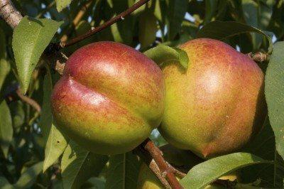 nectarine harvest